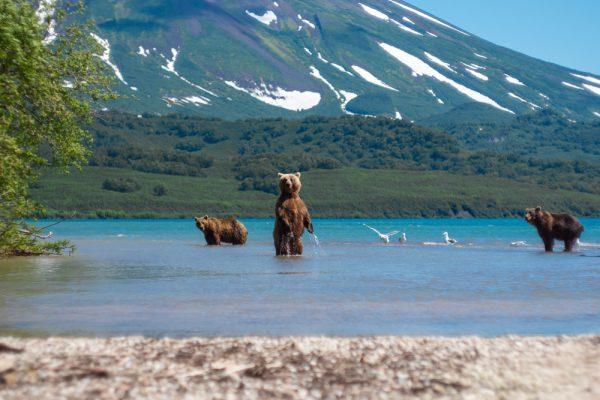 Bären in Kamtschatka