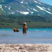 Bären auf Kamtschatka
