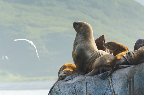 Seelöwen in der Russkaja-Bucht, Kamtschatka
