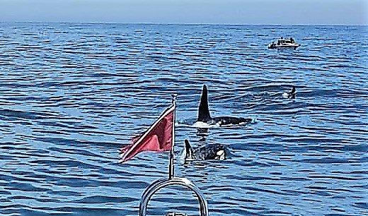 Orca in der Russkaja-Bucht, Kamtschatka