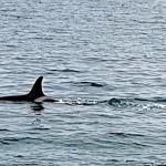 Orcas in der Avacha-Bucht, Kamtschatka