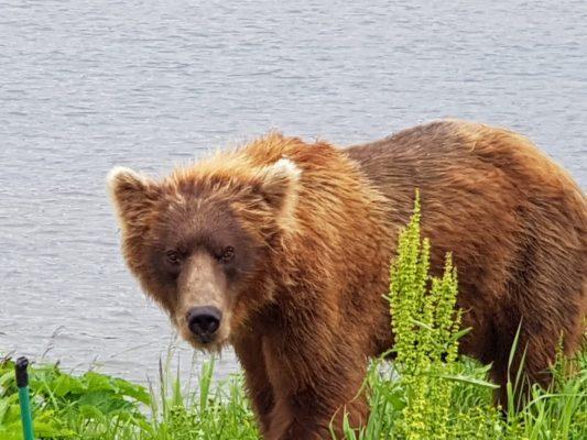Bär am Kurilensee, Reisebericht Kamtschatka