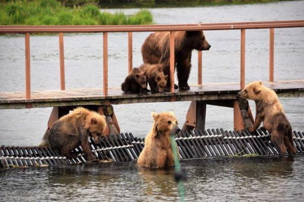 Kamtschatka, Bären Kurilensee Kamtschatka