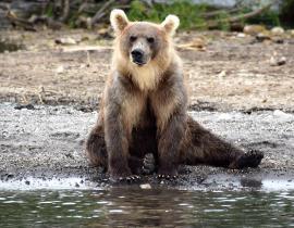Bär, Kamtschatka