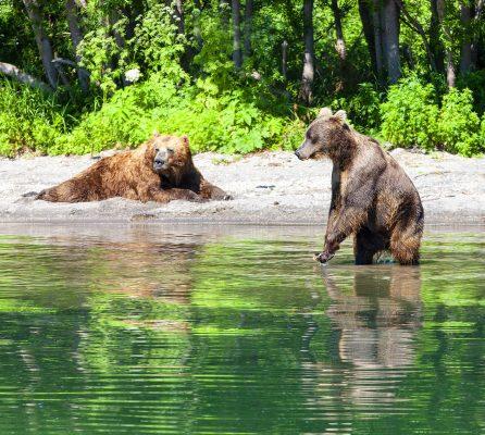 Kamtschatka Braunbären